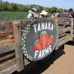 Tour of Tanaka Farms: Pick your own Strawberry Experience