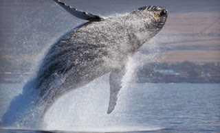 Discount to Whale Watching: Various Locations near LA & OC